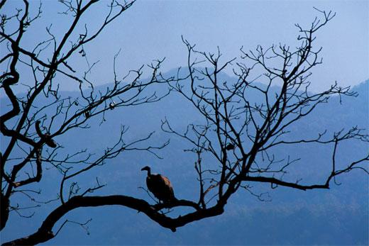 vulture_branch.jpg